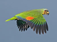 Orange Winged Parrot
